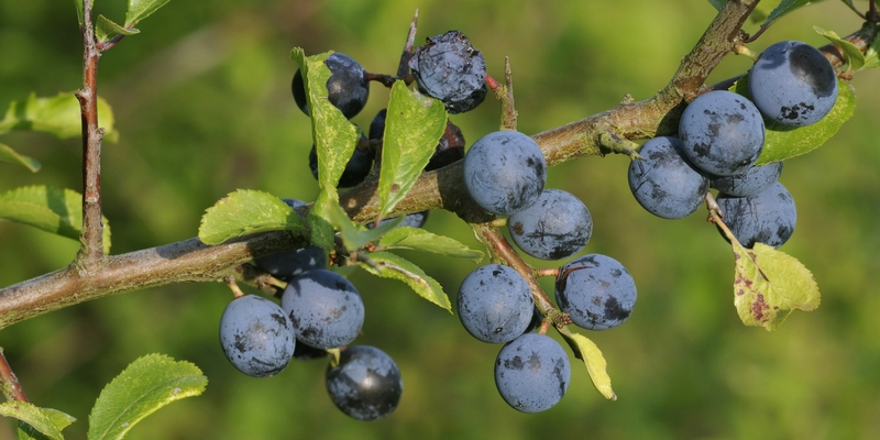 Blackthorn (Prunus Spinosa)