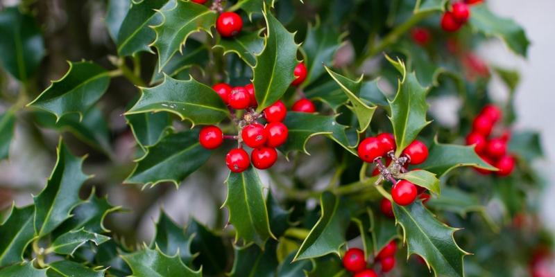 Holly (Ilex Aquilinum)